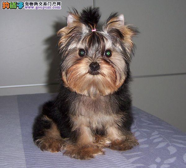 专业繁殖纯种长沙约克夏疫苗齐全微信咨询看狗狗照片