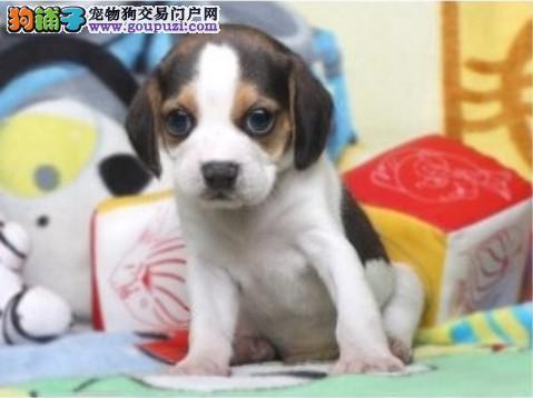 健康活泼可爱的比格犬出售