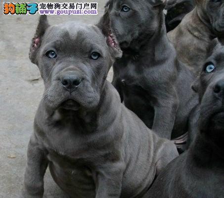 品质健康有保障武汉卡斯罗犬热卖中保证冠军级血统3