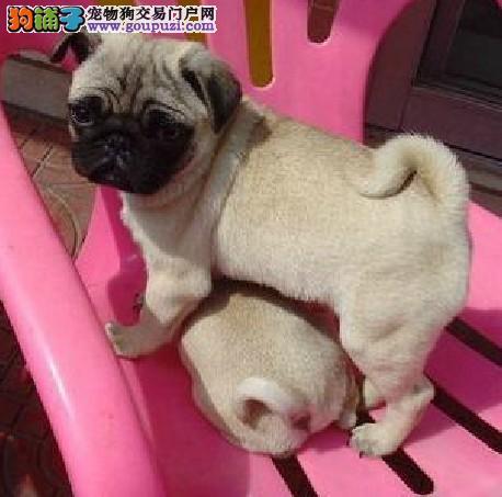 精品纯种铜仁巴哥犬出售质量三包专业繁殖中心值得信赖4