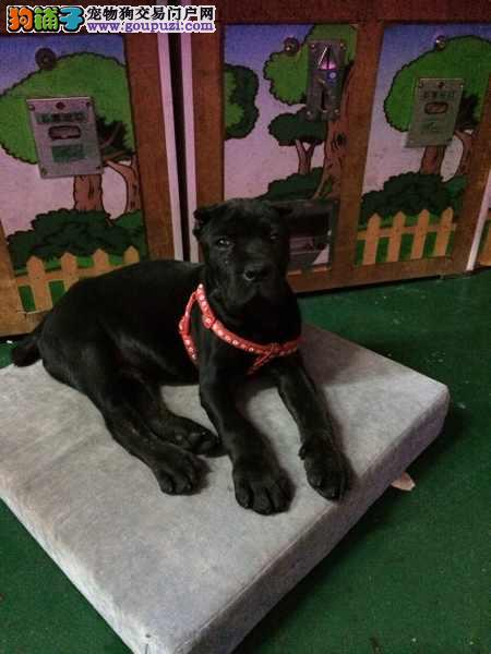 长沙重头版血统卡斯罗犬转让高级护卫犬疫苗齐全健康