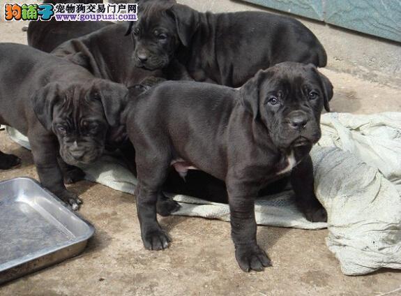 CKU犬舍认证出售高品质成都卡斯罗犬成都当地上门挑选