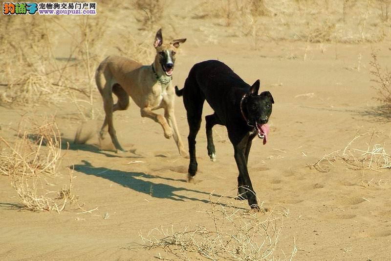 完美品相血统纯正格力犬出售全国质保全国送货1