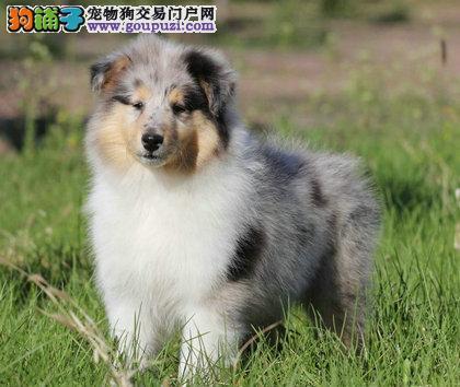 苏格兰牧羊犬三色 陨石幼犬 健康纯种出售