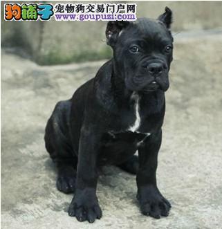 抚州大型犬舍低价热卖极品卡斯罗犬全国十佳犬舍