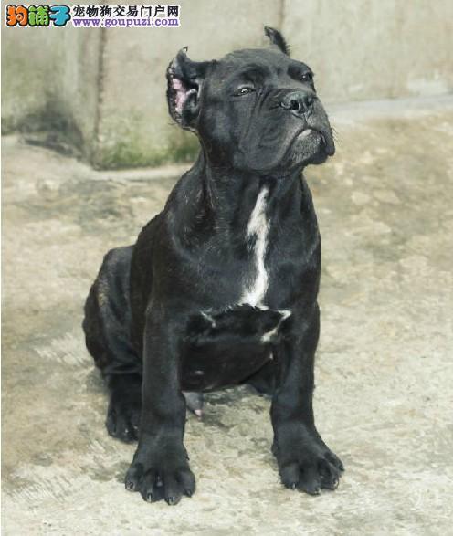 出售高端卡斯罗犬、专业繁殖宝宝健康、全国送货上门