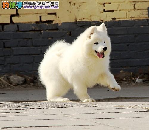 北京售自己繁殖萨摩耶保纯种保养活免费送萨摩上门