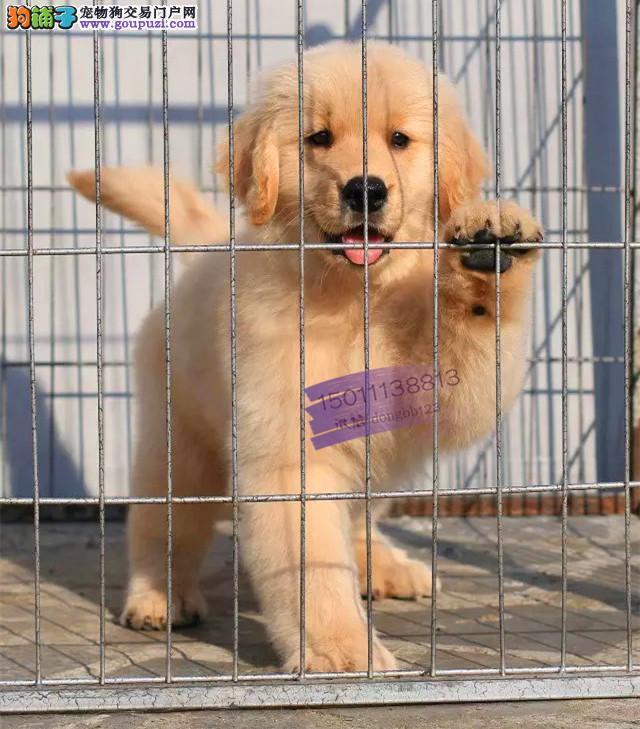 正规犬舍繁殖 赛级品质 纯种金毛幼犬出售