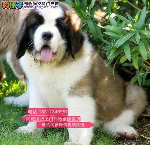 纯种圣伯纳 专业繁殖高端宠物 纯种圣伯纳幼犬待售