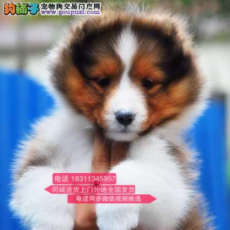 纯种喜乐蒂 专业繁殖高端宠物 纯种喜乐蒂幼犬待售