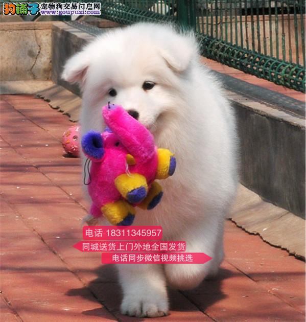 纯种微笑天使萨摩耶 犬舍直销 欢迎选购 萨摩耶3