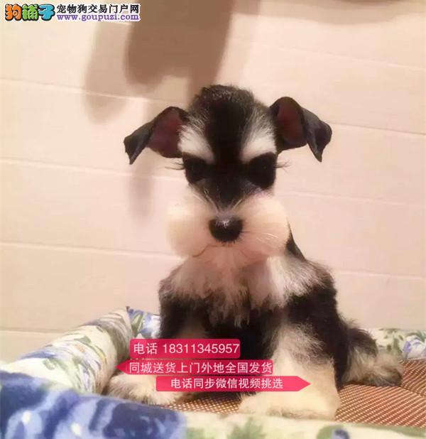 顶级雪纳瑞 犬舍直销 纯种健康保障 纯种幼犬待售