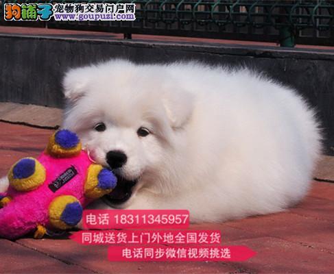 纯种微笑天使萨摩耶 犬舍直销 欢迎选购 萨摩耶2