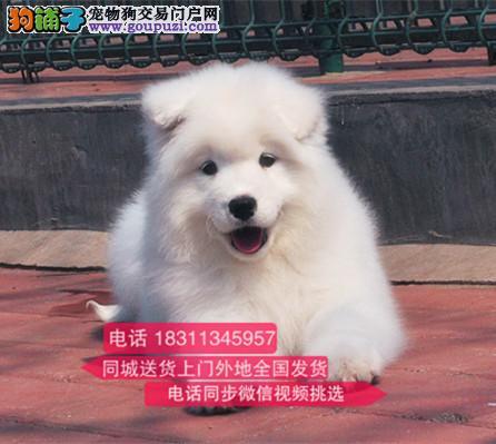 纯种微笑天使萨摩耶 犬舍直销 欢迎选购 萨摩耶1