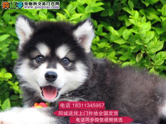 纯种高品质阿拉斯加雪橇犬 高端繁殖健康有保证