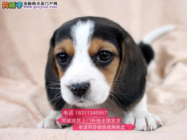 纯种比格犬 专业繁殖高端宠物 纯种比格幼犬待售