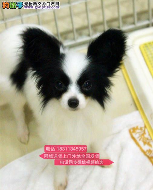 纯种蝴蝶犬 专业繁殖高端宠物 纯种蝴蝶幼犬待售