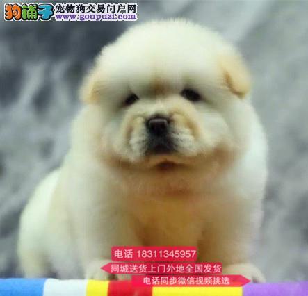 纯种松狮犬 专业繁殖高端宠物 纯种松狮幼犬待售