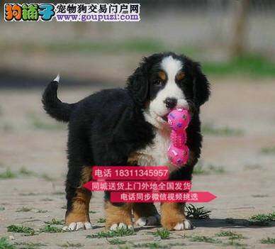 纯种伯恩山 专业繁殖高端宠物 纯种伯恩山幼犬待售