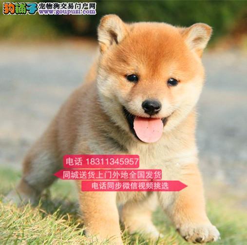 纯种柴犬 日本柴犬 北京犬舍直销日本柴犬