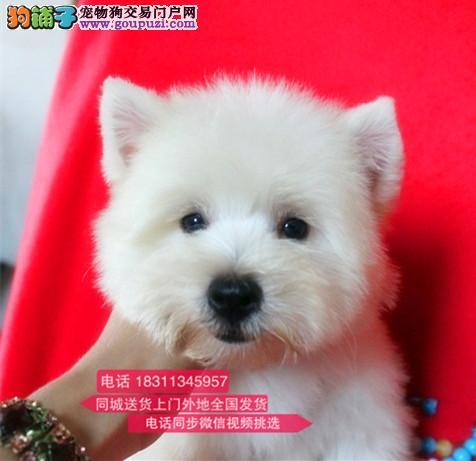 纯种西高地 专业繁殖高端宠物 纯种西高地幼犬待售