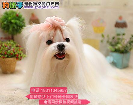 纯种马尔济斯 专业繁殖高端宠物 纯种马尔济斯幼犬待售