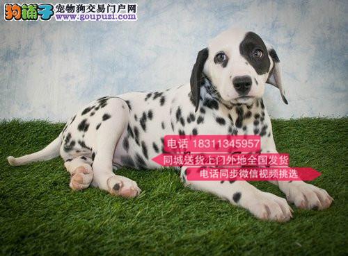 纯种斑点 专业繁殖高端宠物 纯种斑点幼犬待售