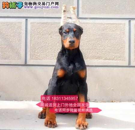 纯种杜宾犬 专业繁殖高端宠物 纯种杜宾幼犬待售