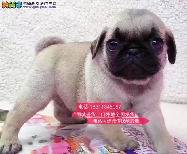 纯种巴哥犬 专业繁殖高端宠物 纯种巴哥幼犬待售