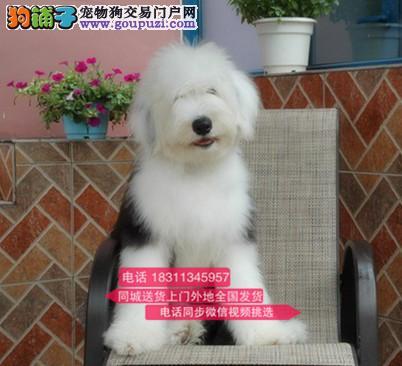 纯种古代牧羊犬 专业繁殖高端宠物 纯种古牧幼犬待售