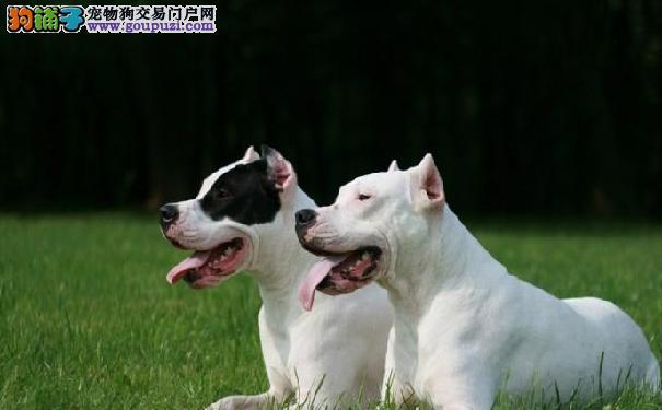阿根廷杜高犬价格 杜高犬吃什么比较好