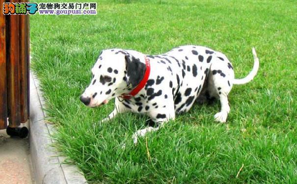 大麦町犬寿命 影响斑点狗寿命的三大因素