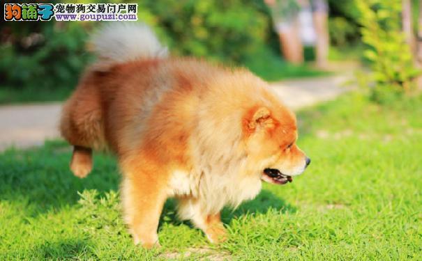 准备饲养松狮犬须知松狮生活习性