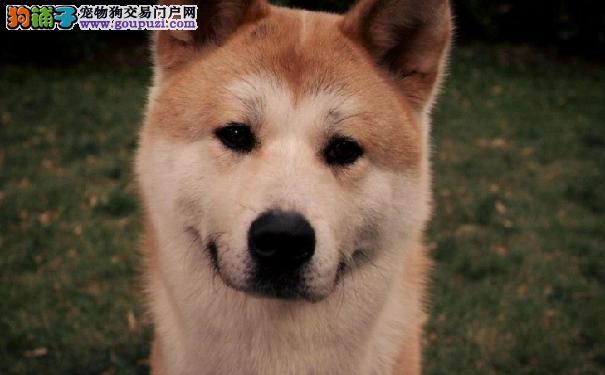 挑选健康秋田犬幼犬及挑选秋田幼犬建议