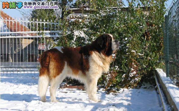 购买圣伯纳犬价格 圣伯纳犬的性格特点