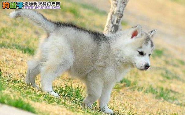 挑选赛级哈士奇幼犬的方法 通过骨骼比例挑选二哈