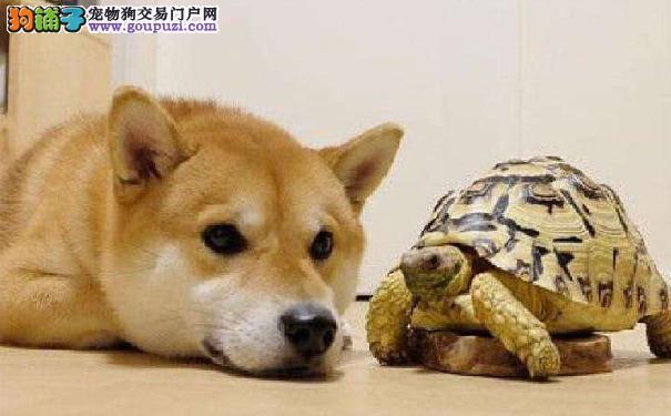 选购日本柴犬前必读 通过性格挑选柴犬幼犬