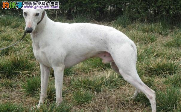 格力犬和灵缇犬的区别 两种狗狗灵缇犬更快