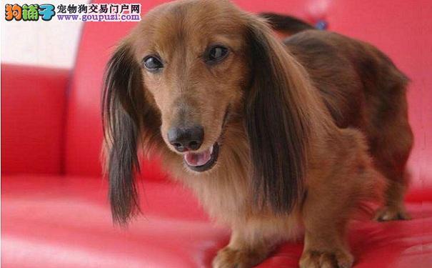 腊肠犬的外形特点及腊肠狗的个性