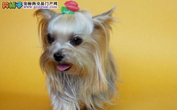 约克夏犬的价格 选购约克夏犬的方法