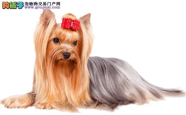约克夏犬好养吗?怎么挑选约克夏犬