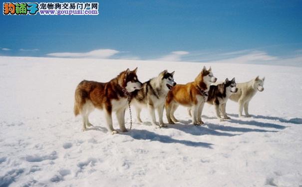 西伯利亚雪橇犬怎么挑选 如何选购哈士奇犬