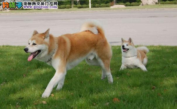 什么是秋田犬 秋田犬是大型猎犬