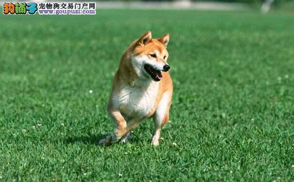 柴犬最新价格 2017年柴犬的价钱