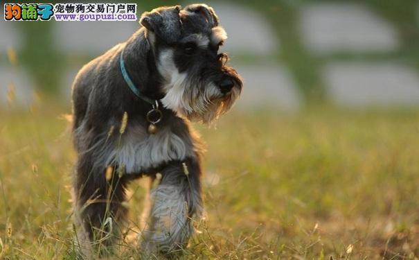 养雪纳瑞犬好还是养泰迪犬好