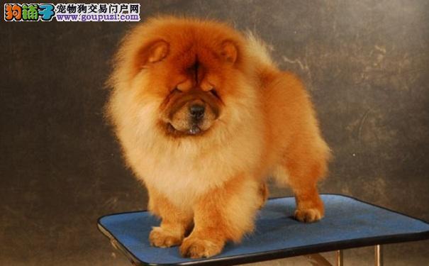 挑选健康的松狮犬的方法 选购松狮犬必知