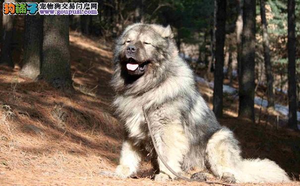 高加索幼犬多少钱一只 高加索价格受颜色体型影响