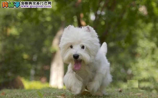 买西高地白梗犬多少钱 宠物级赛级西高地有什么区别