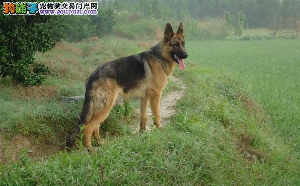 昆明犬的性格特点 昆明犬VS德国牧羊犬和马犬的区别