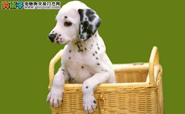 买斑点狗需要花多少钱 斑点狗能长多大